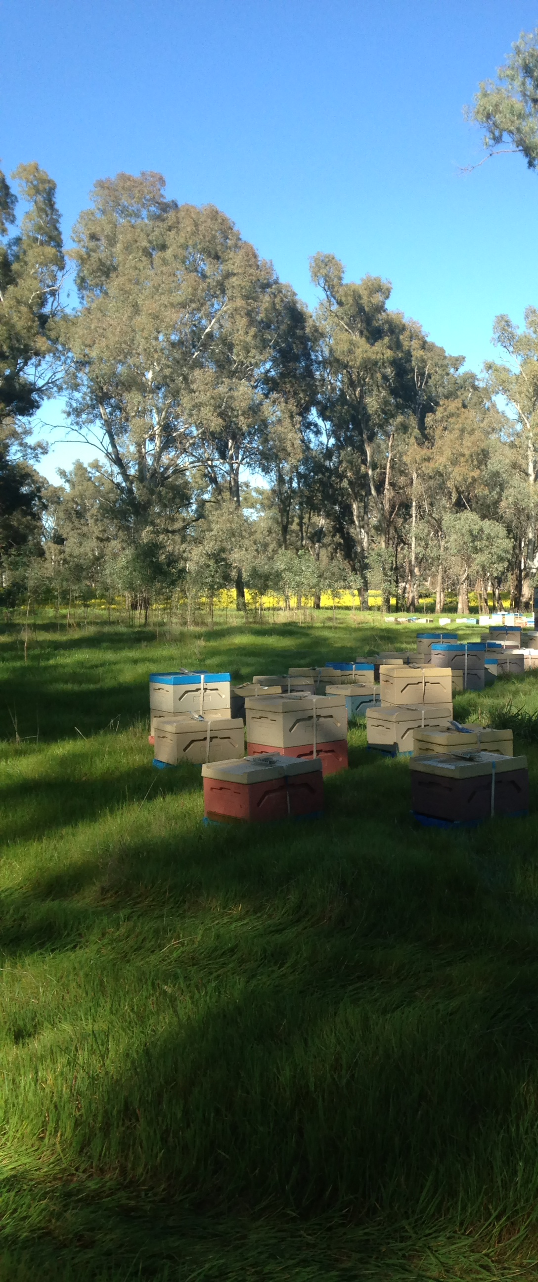 Polystyrene Beehives Canola 2014 004